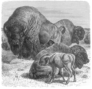 Bison Family Drawing