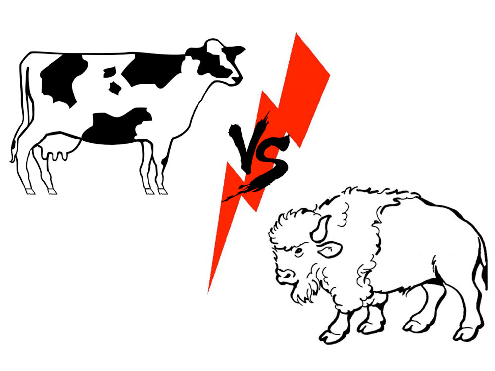 Buffalo vs Cow