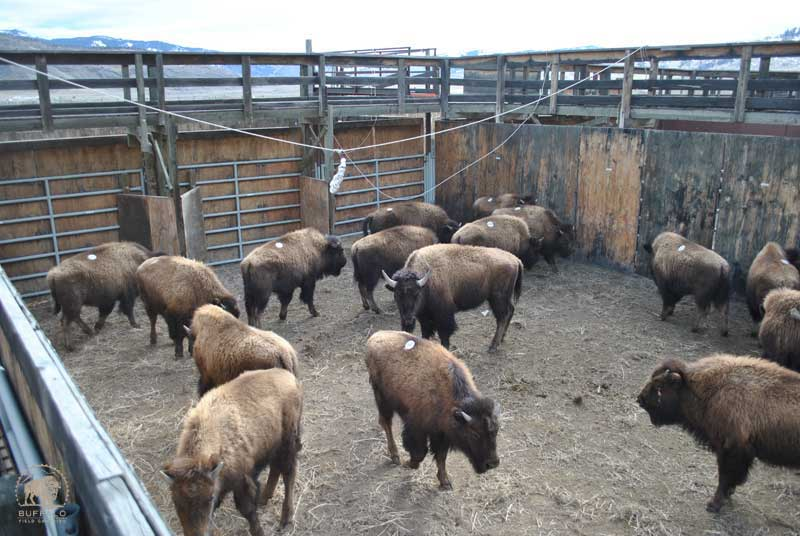 what are the solutions to the yellowstone buffalo slaughter