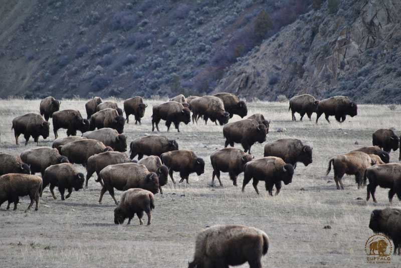 what is the buffalo or bison carrying capacity of yellowstone national park