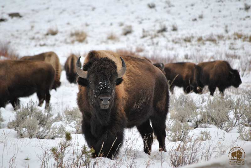 who gets the slaughtered yellowstone buffalo meat