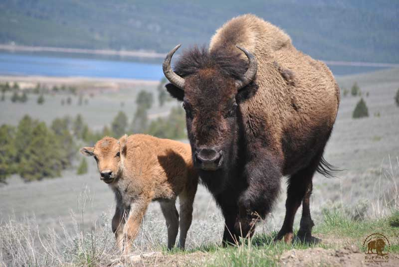 why are the yellowstone national park buffalo being slaughtered