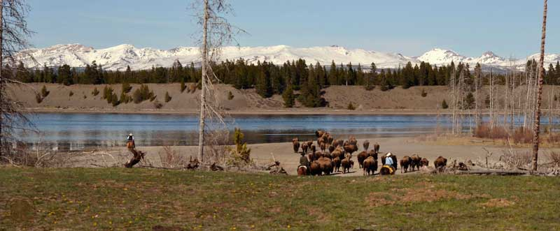 yellowstone bison hazing operation madison river