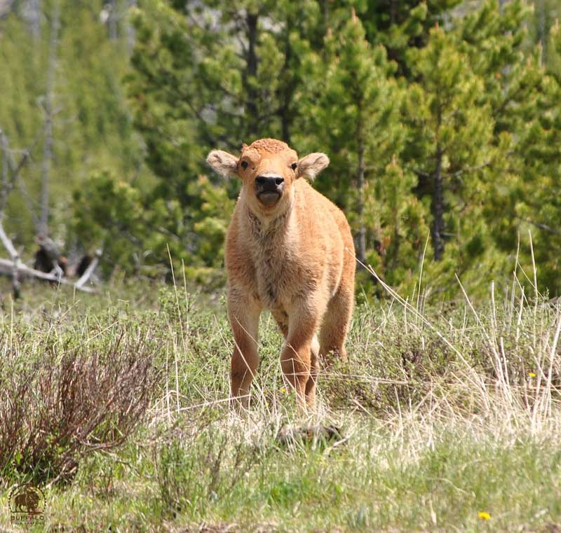 Yellowstone Bison Calf