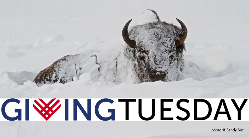 buffalo field campaign giving tuesday