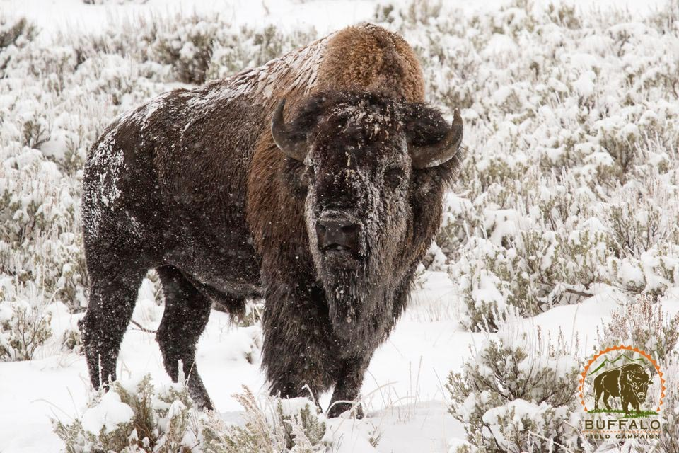 Bull snow face Buffalo Field Campaign