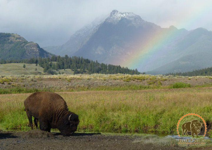 Rainbow and buffalo Buffalo Field Campaign