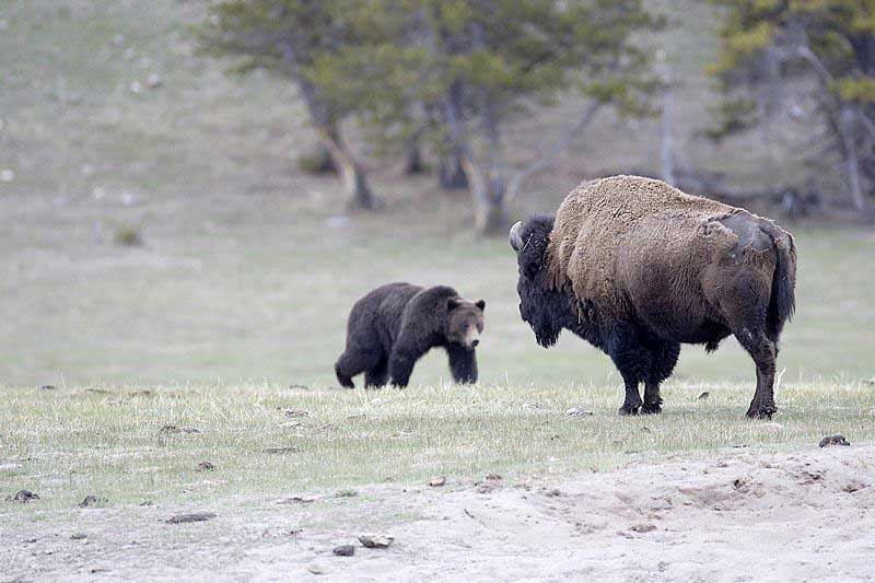 grizzly stalking bison