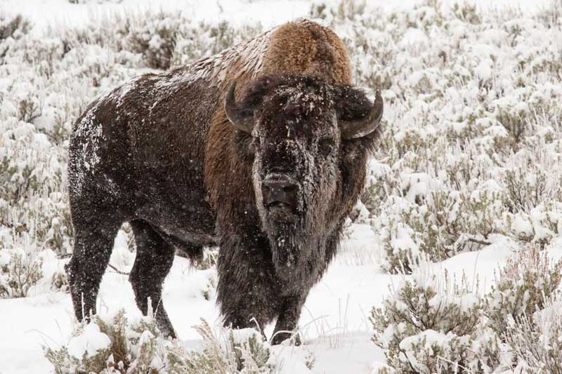 yellowstone bull bison winter