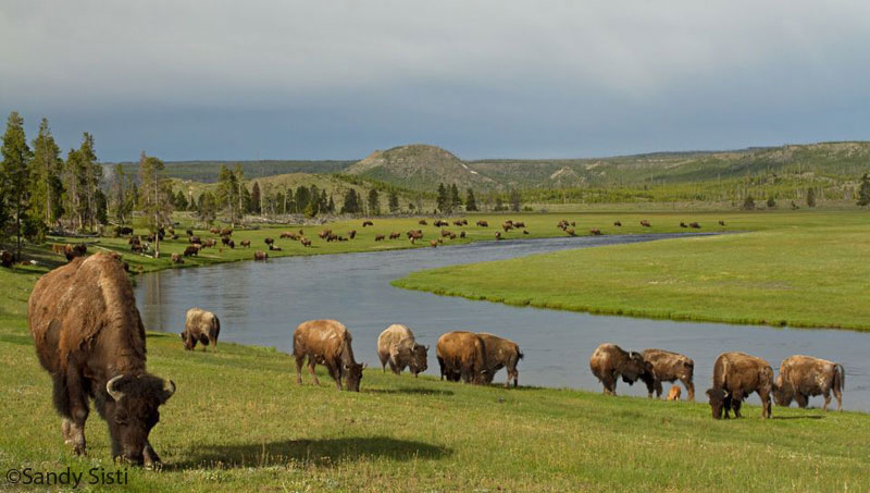 buffalo field campaign problems and solutions bison grazing in yellowstone national park sandi sisti