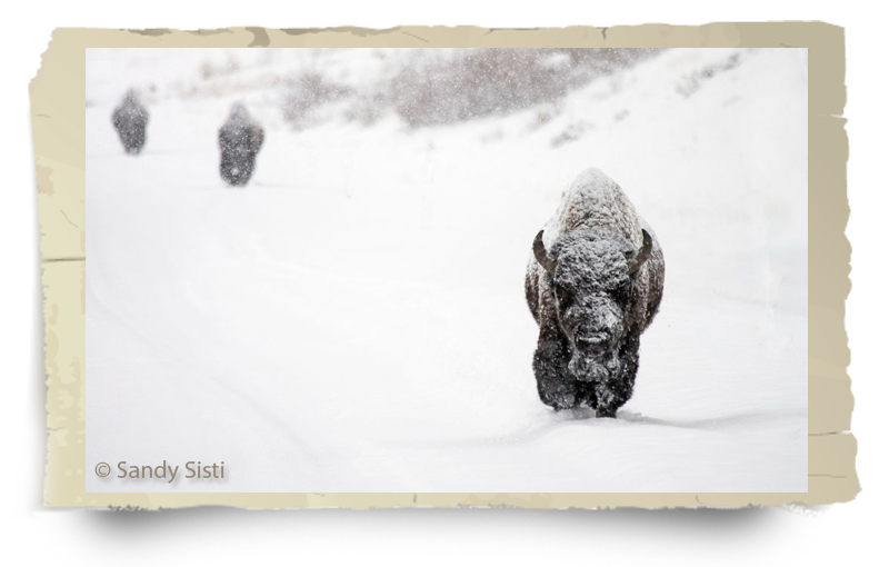 buffalo field campaign history bison in snow sandi sisti