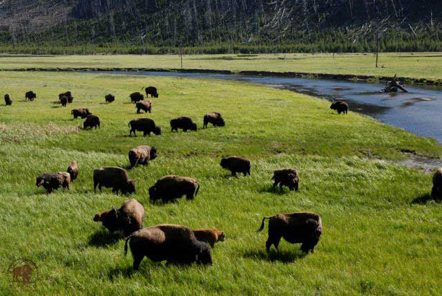 yellowstone bison herd at 7 mile meadow