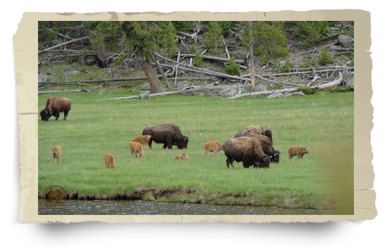 Yellowtone Buffalo and Calves grazing