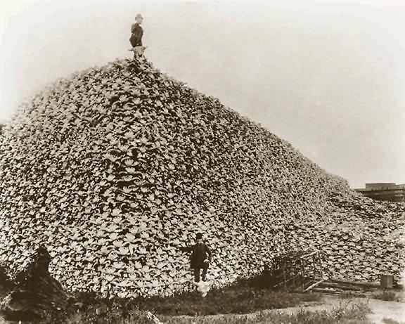 buffalo field campaign extinction bison skulls