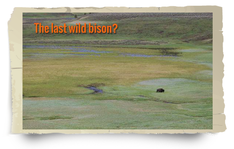the last wild bison photo frame
