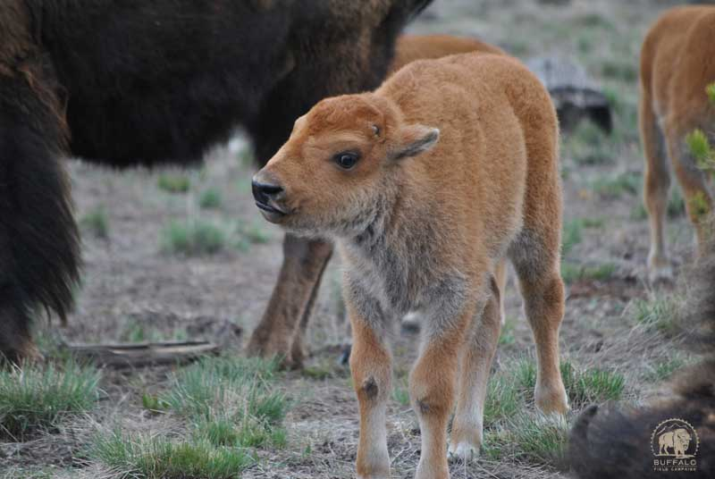 brucellosis in wild bison fact sheet