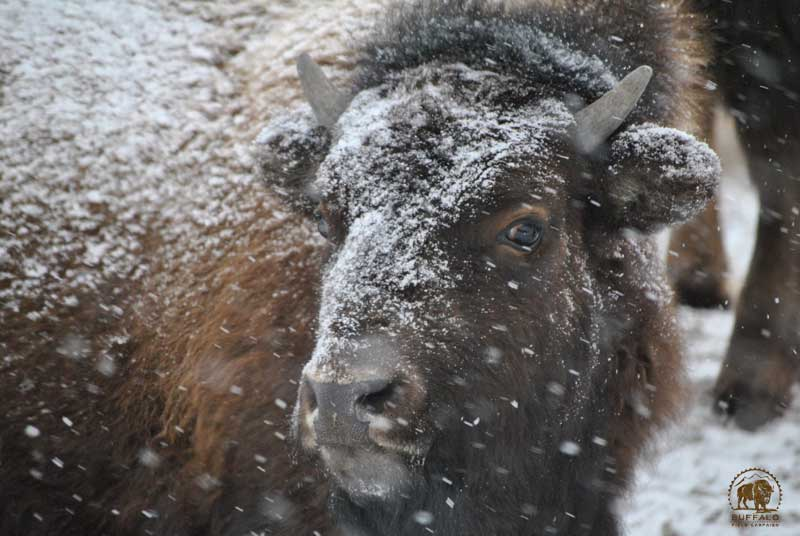 interagency bison management plan fact sheet