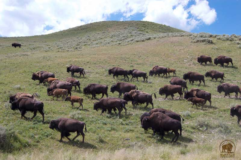 how many buffalo or bison are there in yellowstone national park