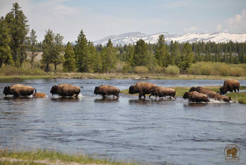 how many wild buffalo are there in the united states where are they