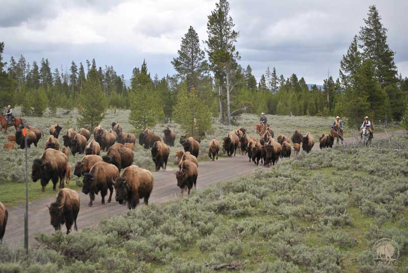 how many yellowstone national park buffalo have been slaughtered