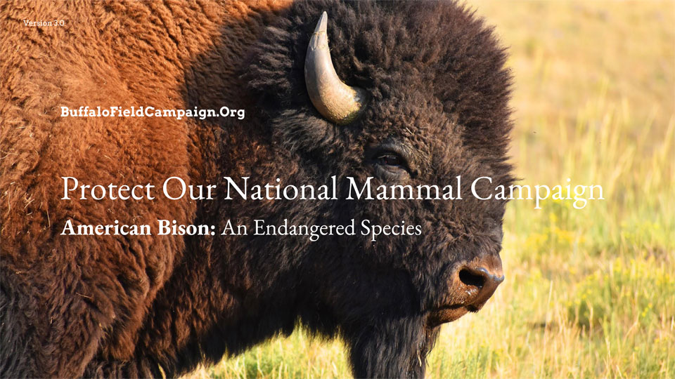 Buffalo Field Campaign Our National Mammal Slideshow