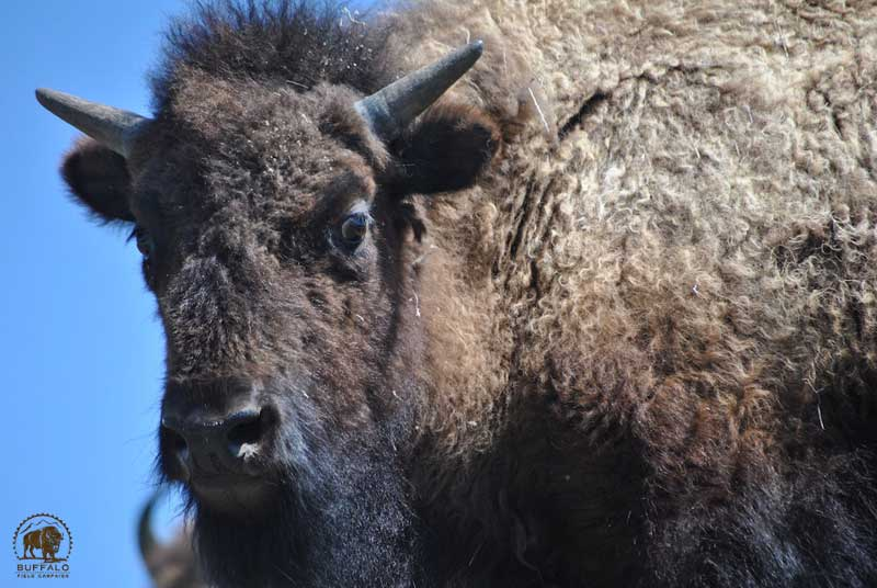 Yellowstone Bison Yearling
