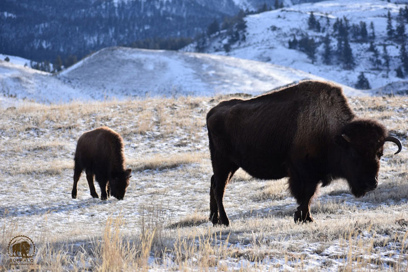 2018 02 01 01 001 Update1 Buffalo Field Campaign Stephany Seay 2018 800