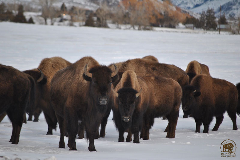 2018 02 22 01 001 Update1 Buffalo Field Campaign Photo Stephany Seay 2018 800