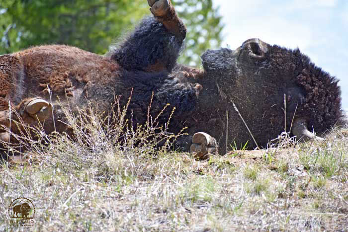 2018 05 31 01 002 Update2 Buffalo Field Campaign Jaedin Medicine Elk photo