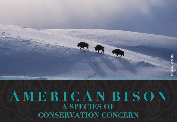 bfc american bison e news graphic
