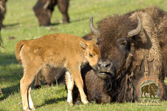 Cow and calf Buffalo Field Campaign