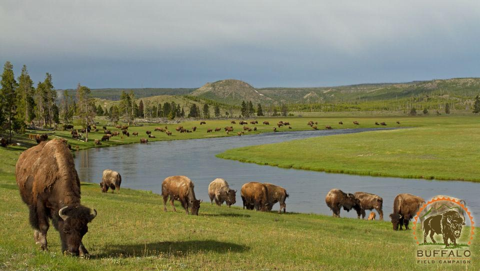 Herd at green river Buffalo Field Campaign