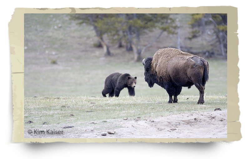 buffalo field campaign problems and solutions grizzly bison