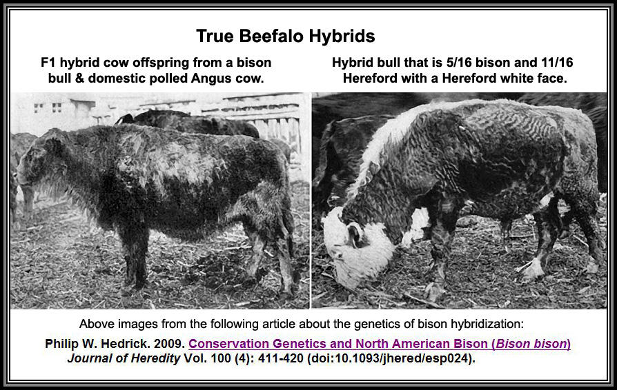 buffalo science true beefalo hybrids