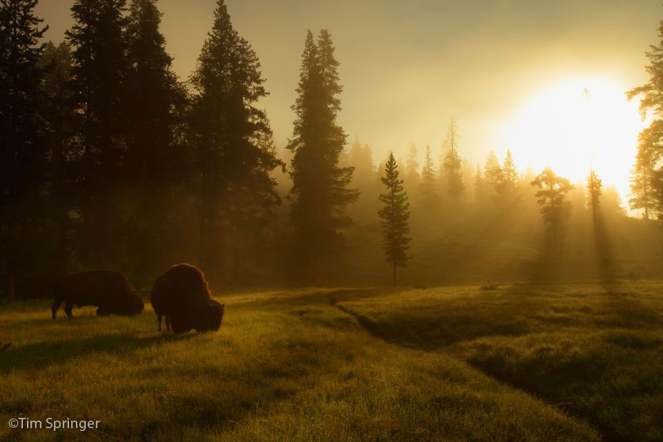 yellowstone buffalo sunset grazing